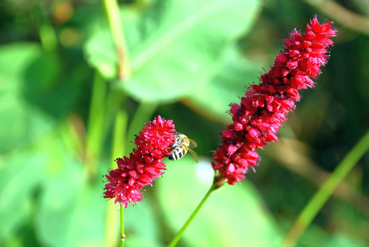 Kerzenknöterich mit Biene